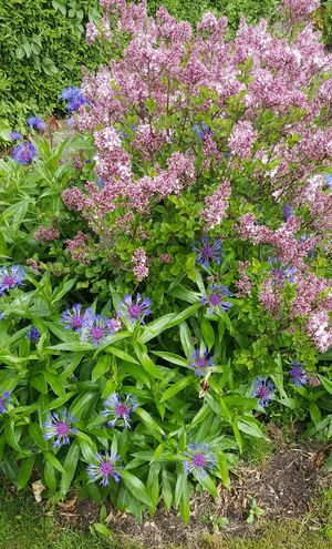 Flieder MAI Flowers Blüte Pankow-heinersdorf Deutschland Germany The Great Outdoors - 2016 EyeEm Awards Nature's Diversities