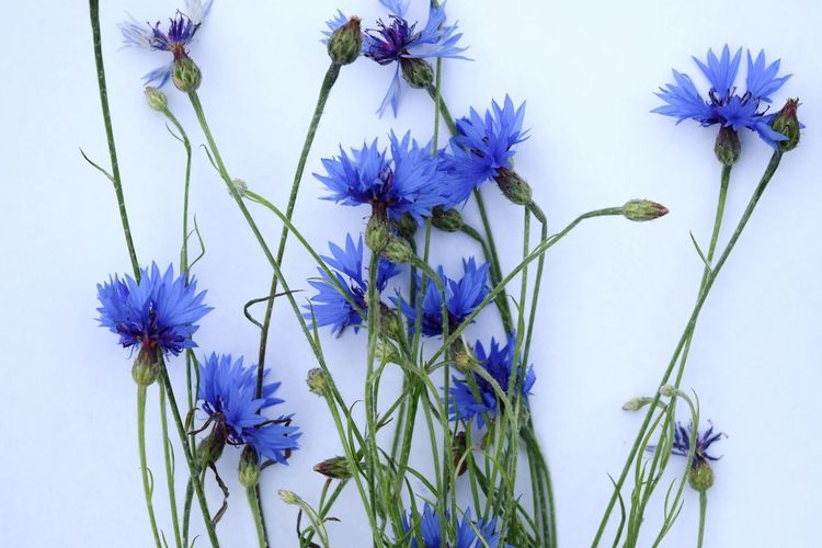 Close-up of purple flowers against blue background