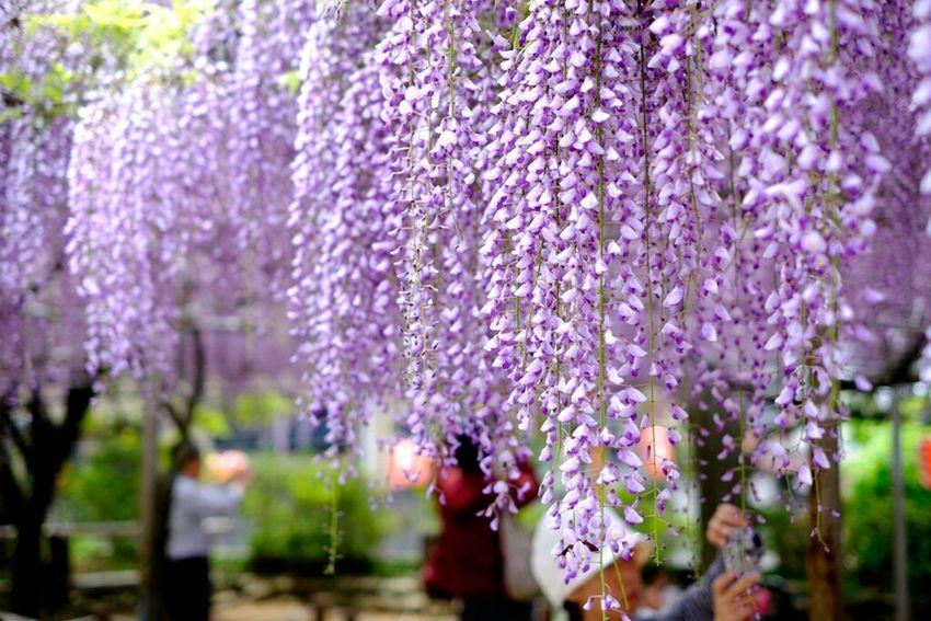 藤 Fujifilm X-E2 Fujifilm Fujixe2 Xf35 Fujifilm_xseries Fujifilmxe2 Wisteria 藤 Flower EyeEm Nature Lover
