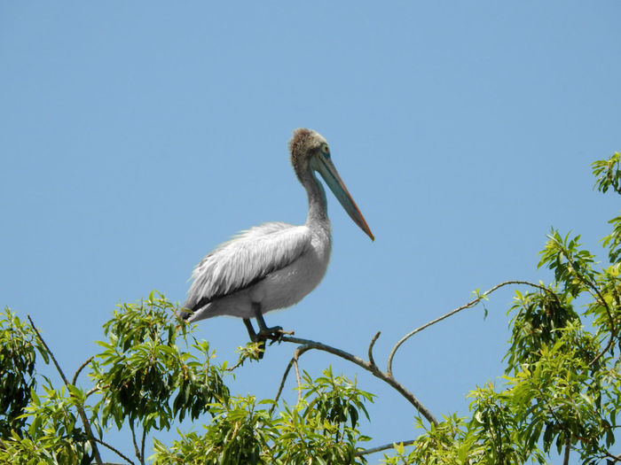 Brown Pelican bird Animal Themes Animal Wildlife Animals In The Wild Beauty In Nature Bird Blue Clear Sky Day Low Angle View Nature No People One Animal Outdoors Perching Sky Stork Tree White Stork