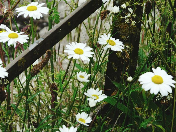 Nature Nature On Your Doorstep Hedge Row Beauty Walking Around The Lakes Wild Flowers Oxeye Daisy Flower Relaxing Taking Photos