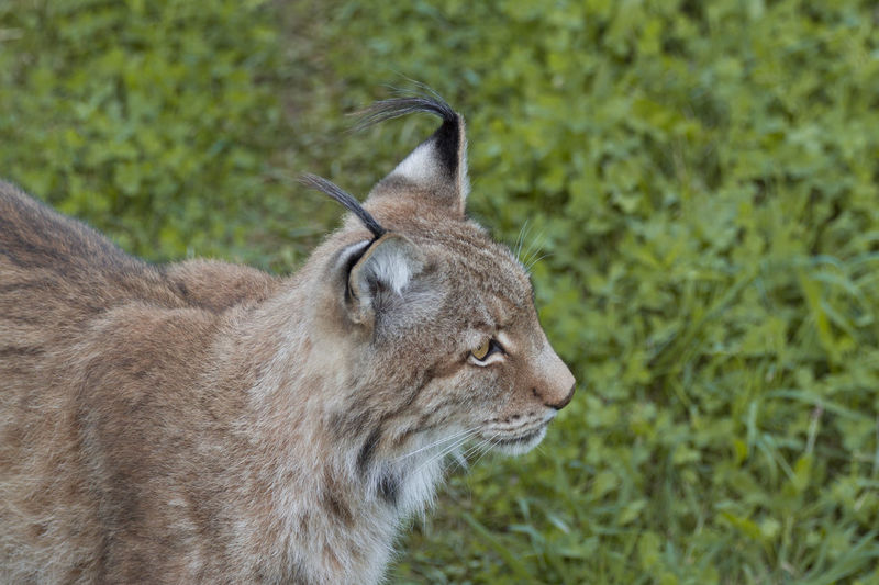 Boreal Lynx, Lynx Lynx Boreal Lynx Felino Lince Lince Boreal Lynx Lynx Nature Photography Animal Animal Themes Animals Animals In The Wild Felinae Lynx Mammal Mamífero Nature Nature_collection One Animal Outdoors