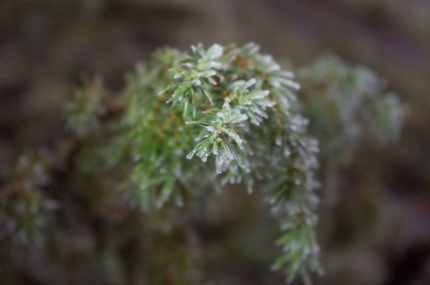 Growth Nature Plant Close-up No People Beauty In Nature Day Outdoors Fragility Freshness Frozen Nature Mountain Branch