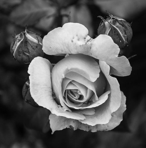 black and white Beauty In Nature Close-up Flower Flower Head Fragility Freshness Petal Rosé Softness