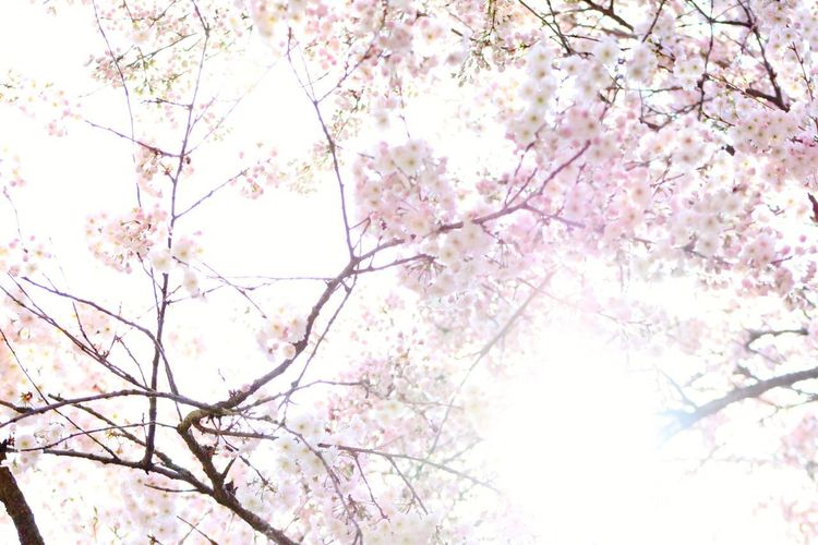 Tree Flower Branch Backgrounds Springtime Pink Color Beauty Blossom Sky Cherry Blossom