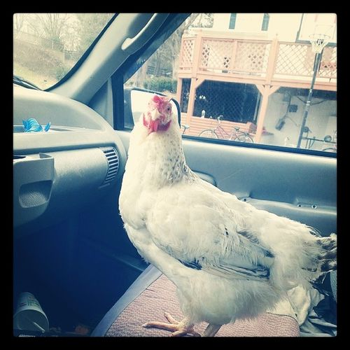 It won't stop staring at me!!!! Chicken farmprobs Ohmygosh Itsgonnakillme