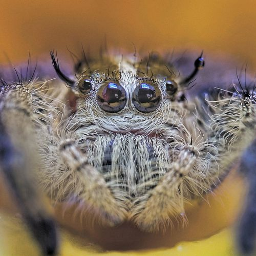 Spider One Animal Jumping Spider Animal Wildlife Animals In The Wild Animal Themes Close-up No People Day Nature Indoors