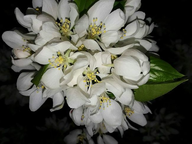 Plant Flower Freshness Close-up Flowering Plant Nature Beauty In Nature White Color Springtime No People Monticello Mn First Blooms Of The Year Outdoors Beauty In Nature