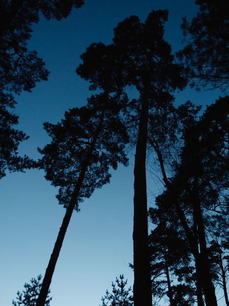 Gradient Trees Twilight Beauty In Nature Blue Blue Sunset Branch Clear Sky Evening Growth Low Angle View Nature No People Outdoors Pine Tree Scenics Silhouette Sky Tree Tree Trunk The Week On EyeEm