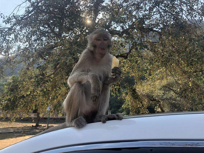Monkey sitting on a car