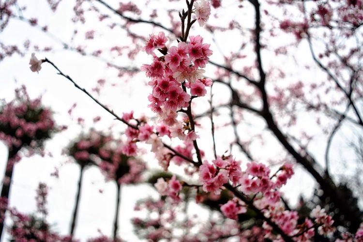 Flower Head Tree Flower Branch Springtime Plum Blossom Pink Color Fruit Blossom Petal Almond Tree Fruit Tree Orange Tree Cherry Blossom Blooming Cherry Tree Apple Blossom In Bloom Plant Life Pistil Orchard Stamen Apple Tree Botany Twig