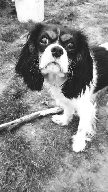 ~This penetrating eyesight~Animal Themes Field Loyalty Animal Outdoors Looking Away Grass Front View Domestic Animals Dog Taking Photos Photography Black&white Check This Out Getting Inspired Hanging Out Hello World Cavalier King Charles Spaniel Nature Relaxing Hi! Friend Poland The Best