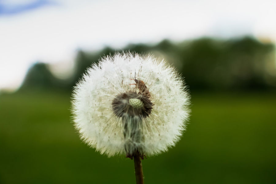 Backgrounds Beauty In Nature Beetle Close-up Dandelion Day Flower Freshness Growth Growth Landscape Nature No People Plant Softness Springtime Summer Sun