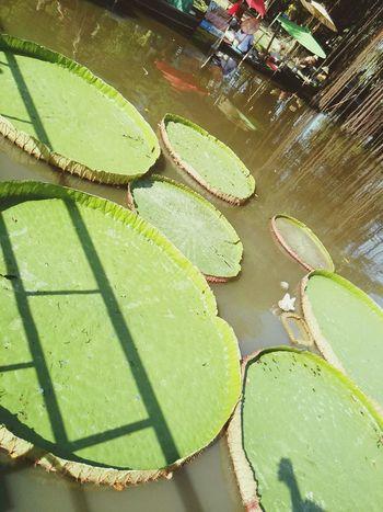 Relaxing Thepark Victoraiwaterlily Walking Around Bangkok Thailand.