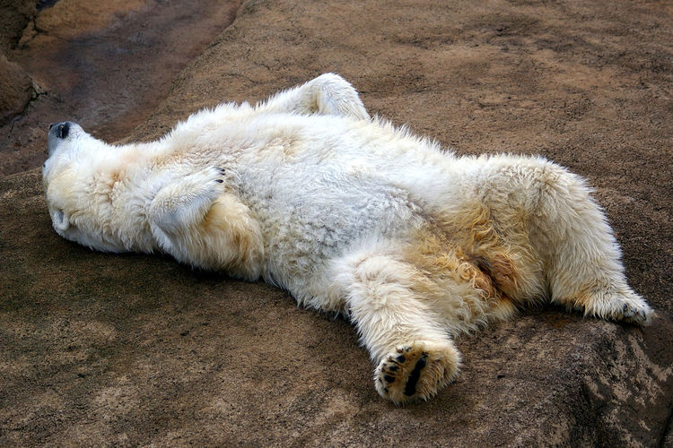Close-up of a sleeping polar bear