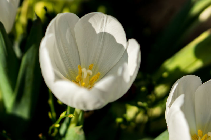 Close-up of white tulip blooming outdoors