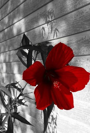 Edited Plant Red Flower Close-up Black And White Red Outdoor Photography No People Outside Flower