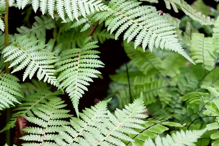 Fern Leaves Tree Fern Beauty In Nature Close-up Coniferous Tree Day Fern Focus On Foreground Freshness Green Color Growth Leaf Leaves Natural Pattern Nature No People Outdoors Pattern Plant Plant Part Selective Focus Tranquility Tree