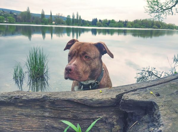 Pitbull Pitbullterrier Americanpitbullterrier Apbt Dog DogLove Bullybreed Dontbullymybreed Rednose  Rednose Pitbull Doglover