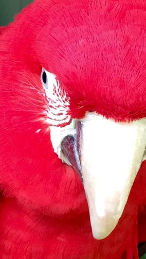 Parrot Bird One Animal Red Nature