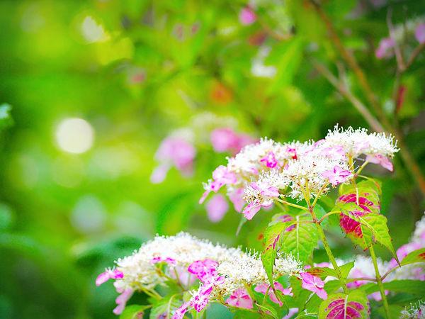 優しい夢を… 山紫陽花 あじさい Flower Collection EyeEm Nature Lover EyeEm Best Shots EyeEm Gallery Eyemphotography Beauty In Nature Green Nature EyeEm Best Shots - Nature Pink Color