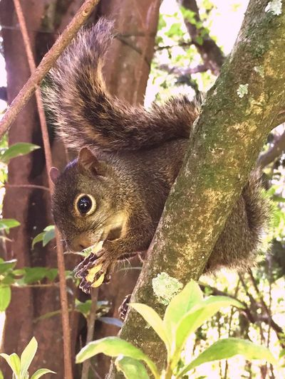 Tree One Animal Animal Themes Squirrel Animals In The Wild Nature Animal Wildlife Growth Day Climbing No People Outdoors Mammal Esquilo Serelepe Catinguelê