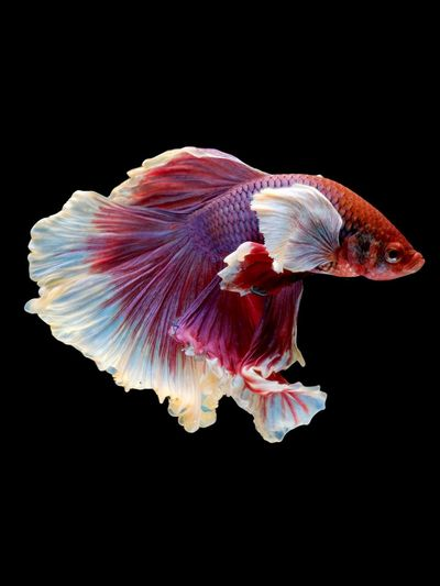 Big ear siamfighting fish on background Siamfighting Fish Unwater Big Ear On Beta Fish Siamese Fish Purple Color Beta Fish