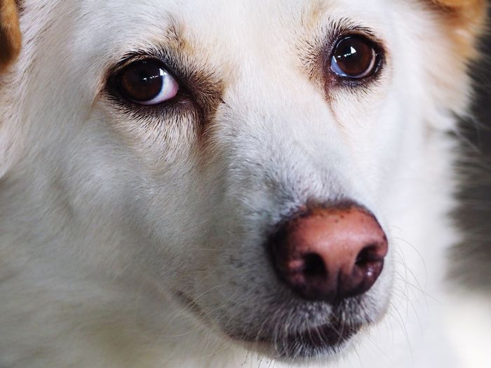 Close up a sweet face of Thai Dog. Pets Dog One Animal Close-up Eye Mammal Indoors  White Cute Lovely Pet Portraits Pet Portraits Pet Portraits