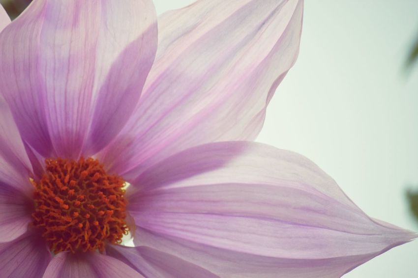 Pink Flower Flower 皇帝ダリア