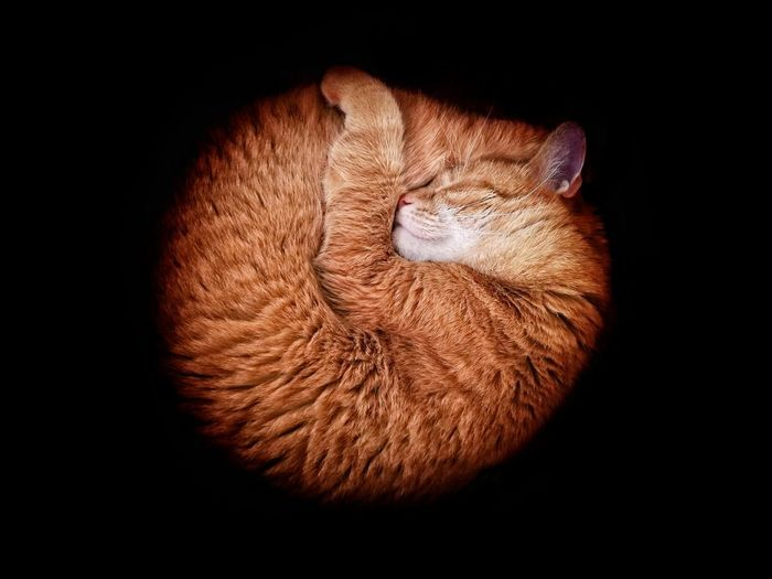 Close-up of ginger cat sleeping against black background