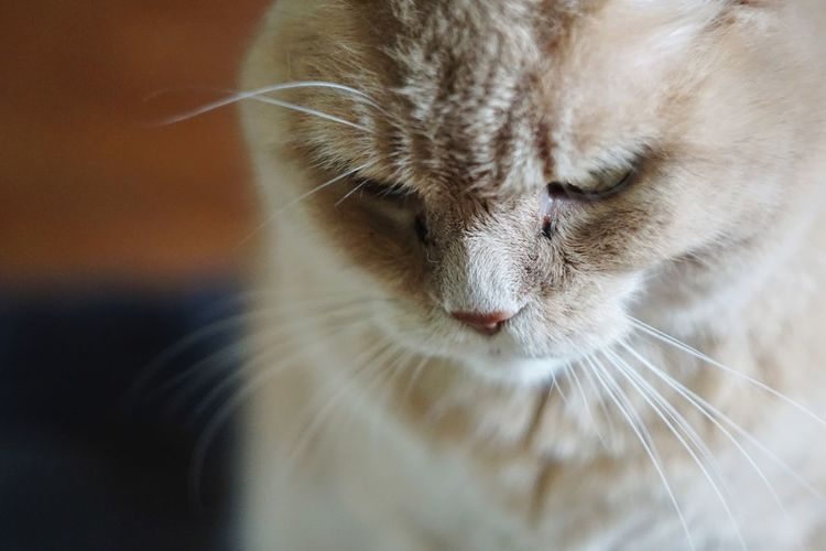 Domestic Cat Pets One Animal Animal Domestic Animals Feline Animal Head  Close-up Mammal No People Whisker Cat