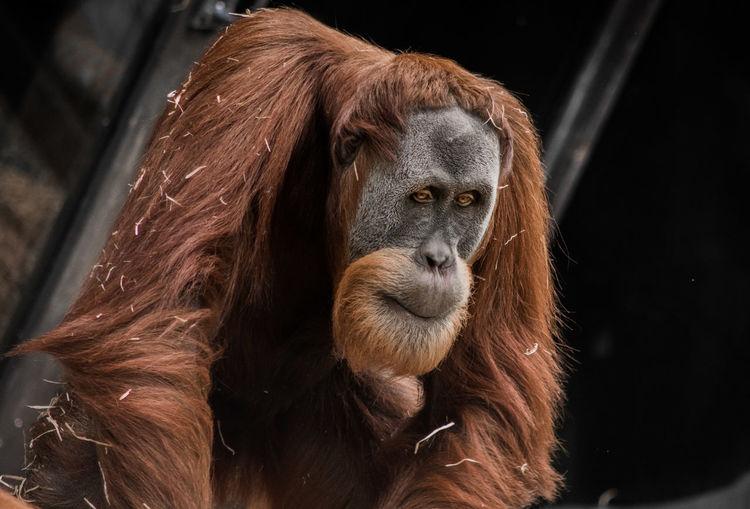 Animal Themes Animal Wildlife Ape Brown Close-up Day Fur Bristles Texture Mammal Monkey No People One Animal Orangutan Outdoors Pensive Portrait Primate Sadness Thinking Zoo Animals  EyeEmNewHere Melbourne Zoo Conservation Sumatranorangutan