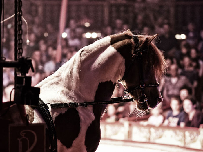 Horse Standing At Circus With People In Background