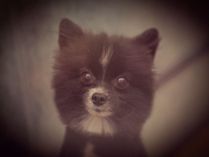 Pomeranian Domestic Animals Dog Portrait Indoors  Looking At Camera Domestic Dog Pets Pet Portraits