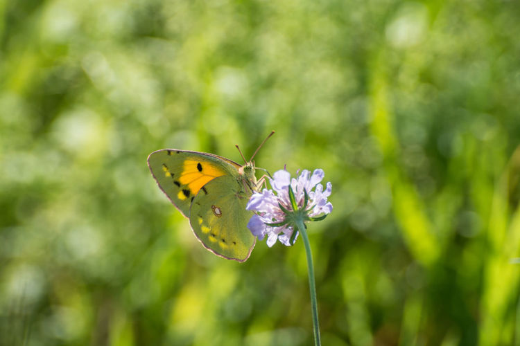 Animal Markings Beauty In Nature Blooming Butterfly Butterfly - Insect Close-up Day Flower Flower Head Focus On Foreground Fragility Freshness Green Color Growth In Bloom Insect Nature No People Outdoors Petal Plant Pollination Purple Selective Focus Wildlife