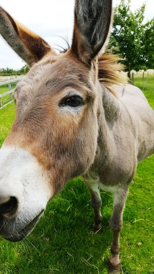 Donkey Inquisitive Curious Nosey Long Face Ass Farmyard Farm Funk Donkey Mane Happy Donkey Samsung Galaxy S6 Edge+