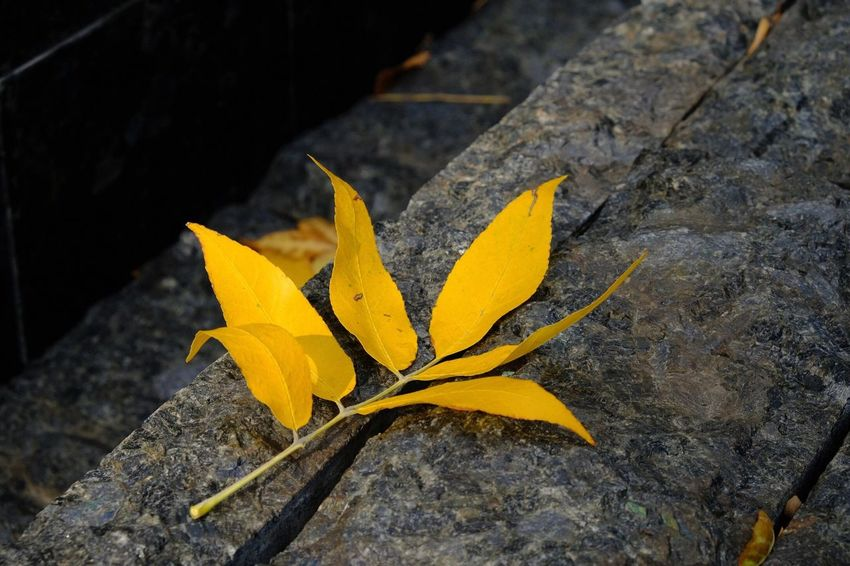 Yellow Leaf Plant Part Close-up Nature Autumn Falling Plant High Angle View Rock - Object Focus On Foreground