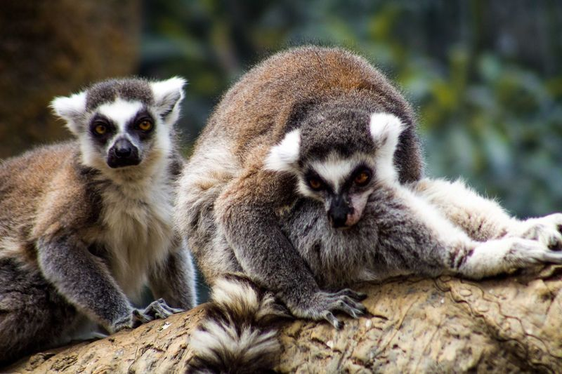 Portrait of lemurs sitting on log