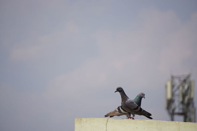 First Pic on EyeEm from Sony Alpha a6000Y Animal Animal Themes Animal Wildlife Animals In The Wild Being Together Bird Birds Together Day Love Birds Mourning Dove No People One Animal Ornithology  Outdoors Pigeons Sony Alpha A6000 Two Birds Two Birds At Once Xperian Photography