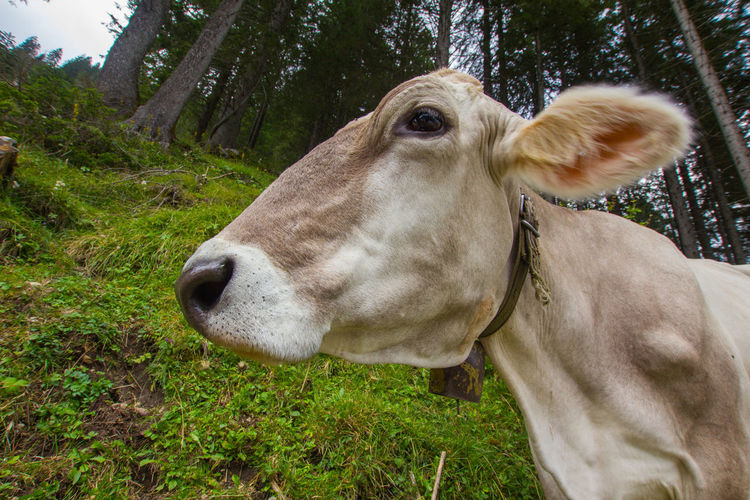 Close-up of cow on grass