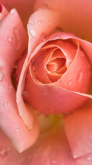 beautiful and relaxing rose close up macrophotography. Pink Rose Rain Drops Rose Petals Rose After Rain Is Still A Rose! Beauty In Nature Blooming Close-up Day Flower Flower Head Fragility Freshness Full Frame Growth Nature No People Outdoors Petal Plant Rose - Flower Rose And Rain Roses Rose🌹