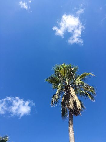Palm Tree Blue Sky Malta Travel Destinations Sunny Beautiful Day Holiday Feeling Vacation Time Travelling South Europe Low Angle View Palm Tree Growth Nature Maltese Nature Coconut Palm Tree