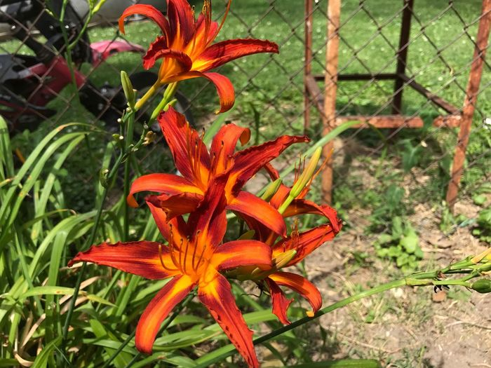 Flower Growth Orange Color Plant Petal Nature Flower Head Beauty In Nature Fragility Freshness Blooming Day Outdoors Day Lily No People Close-up