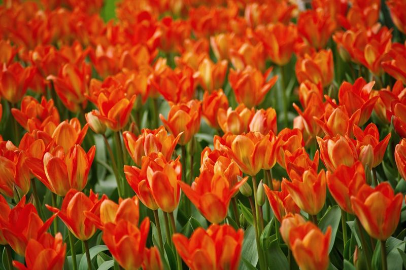 Full Frame Shot Of Red Tulips On Field
