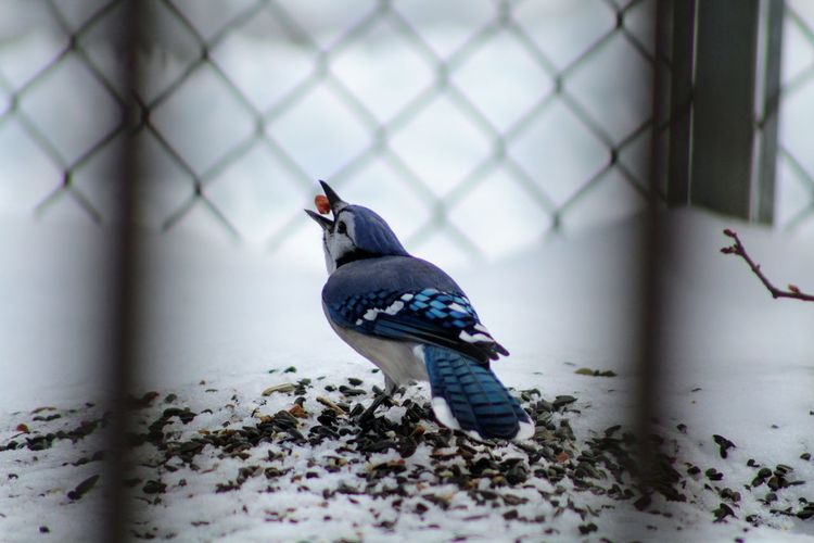 Blue Jay EyeEm Selects Nature Blue White Wing Snow Bird Close-up Chainlink Fence Cold Winter Cold Temperature