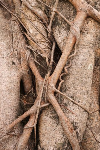 Bark Ficus Benjamina Abstract Backgrounds Bark Texture Brown Close-up Day Full Frame Nature No People Outdoors Root Roots Rough Textured  Tree Tree Trunk Wood - Material