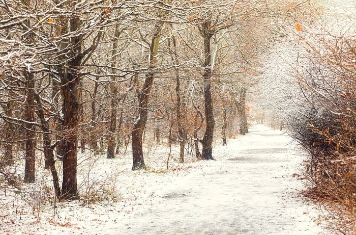 walk through Winter Trees Winter Wintertime Snow Trees Path Cold Cold Days Leading Lines Bare Tree Brown White Backgrounds