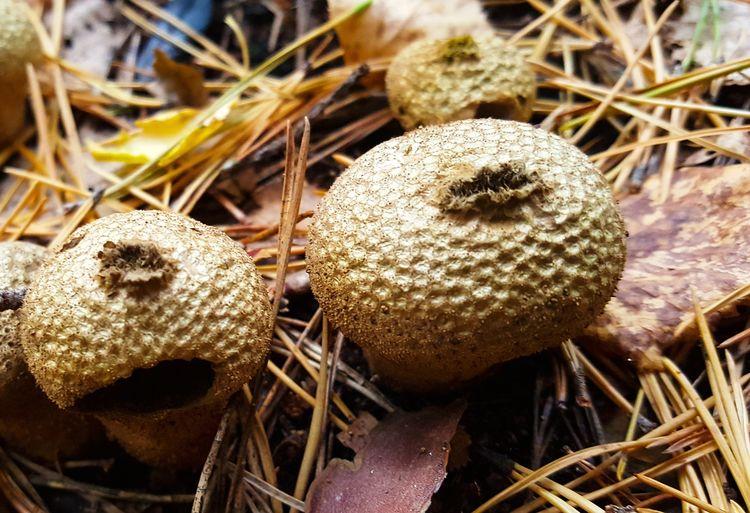 Outdoors Nature Close-up Fungus Fall Colors Autumn Autumn Colors Norway Forest Mushrooms Mushroom Geastrum Geastrum Triplex ? Earthstar
