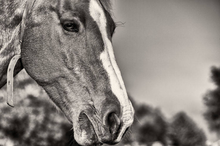 Lonely horse in B&W Mammal Animal Themes Domestic Animals One Animal Animal Domestic Pets Animal Body Part Focus On Foreground Close-up Animal Head  Vertebrate Livestock Portrait Day No People Looking At Camera Animal Wildlife Nature Canine Herbivorous Animal Nose Animal Eye Snout Animal Mouth