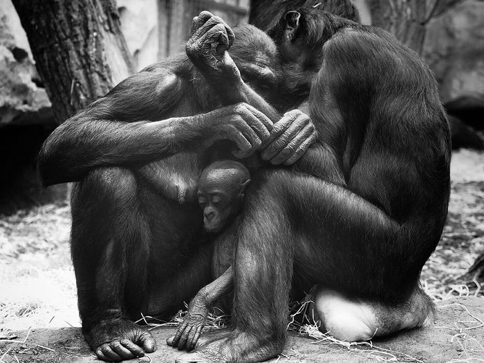 Zoophotography Family Monkey LoveNature Love Schimpanse